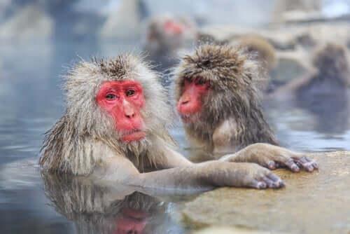 Por que os macacos-japoneses têm a cara vermelha?