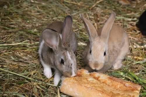 Os coelhos podem comer pão?