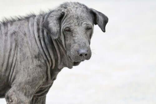 Infecções por fungos em cães e gatos