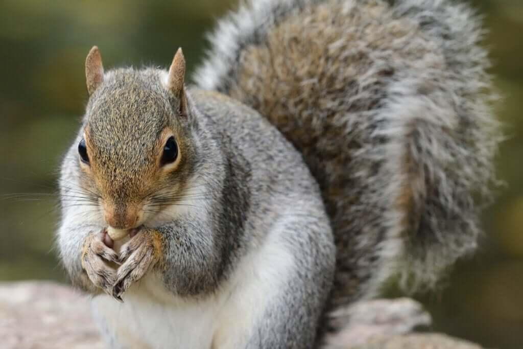 O papel do esquilo-cinzento nas florestas