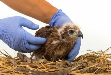 As bandagens mais úteis na clínica de aves