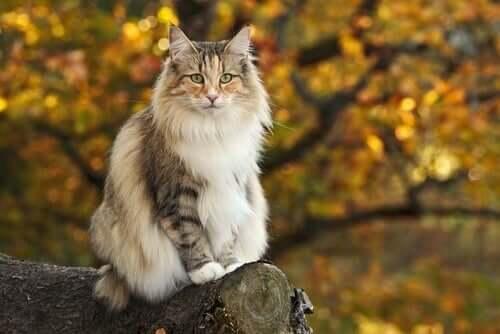 Diferenças entre o gato norueguês da floresta e o Maine Coon