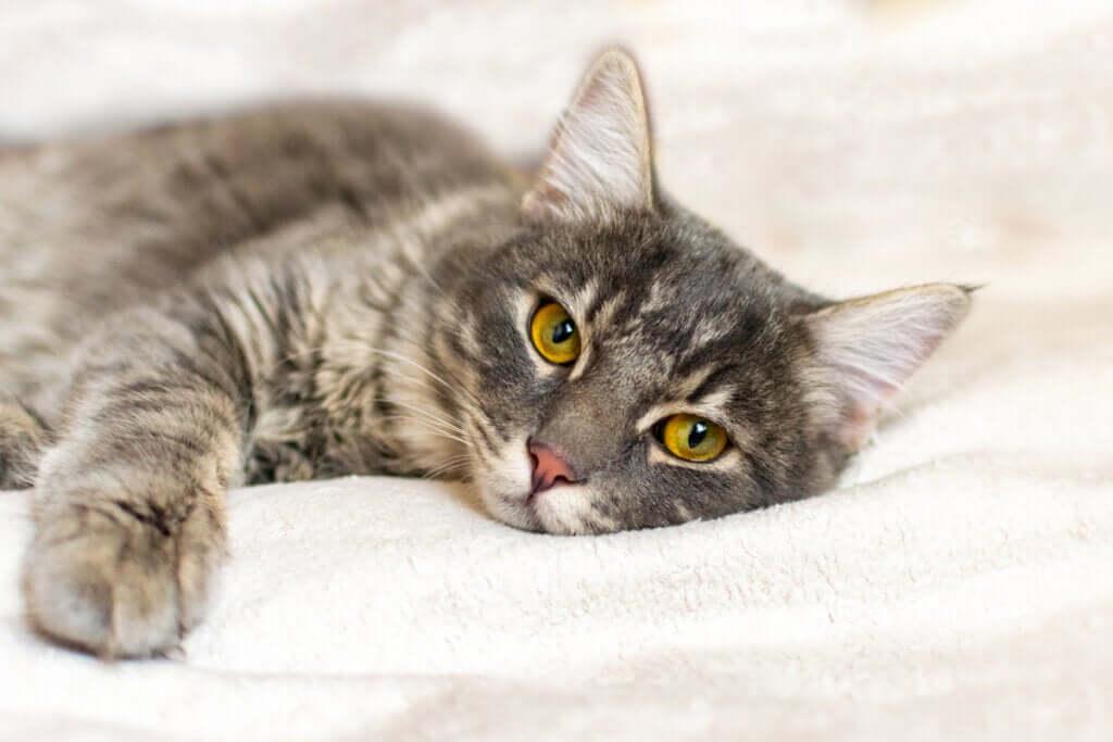 Quais são os sintomas da leucemia em gatos?