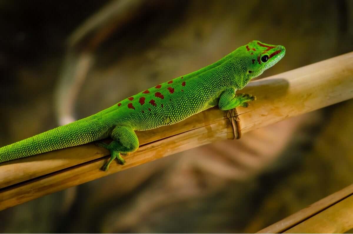 Phelsumas ou geckos diurnos