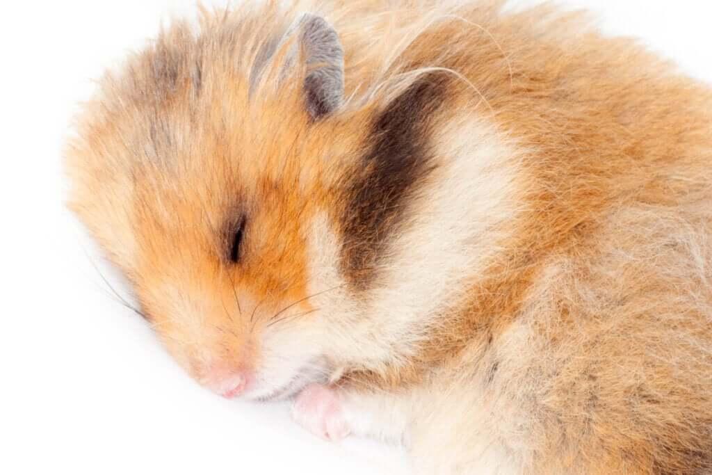 Os hamsters hibernam?