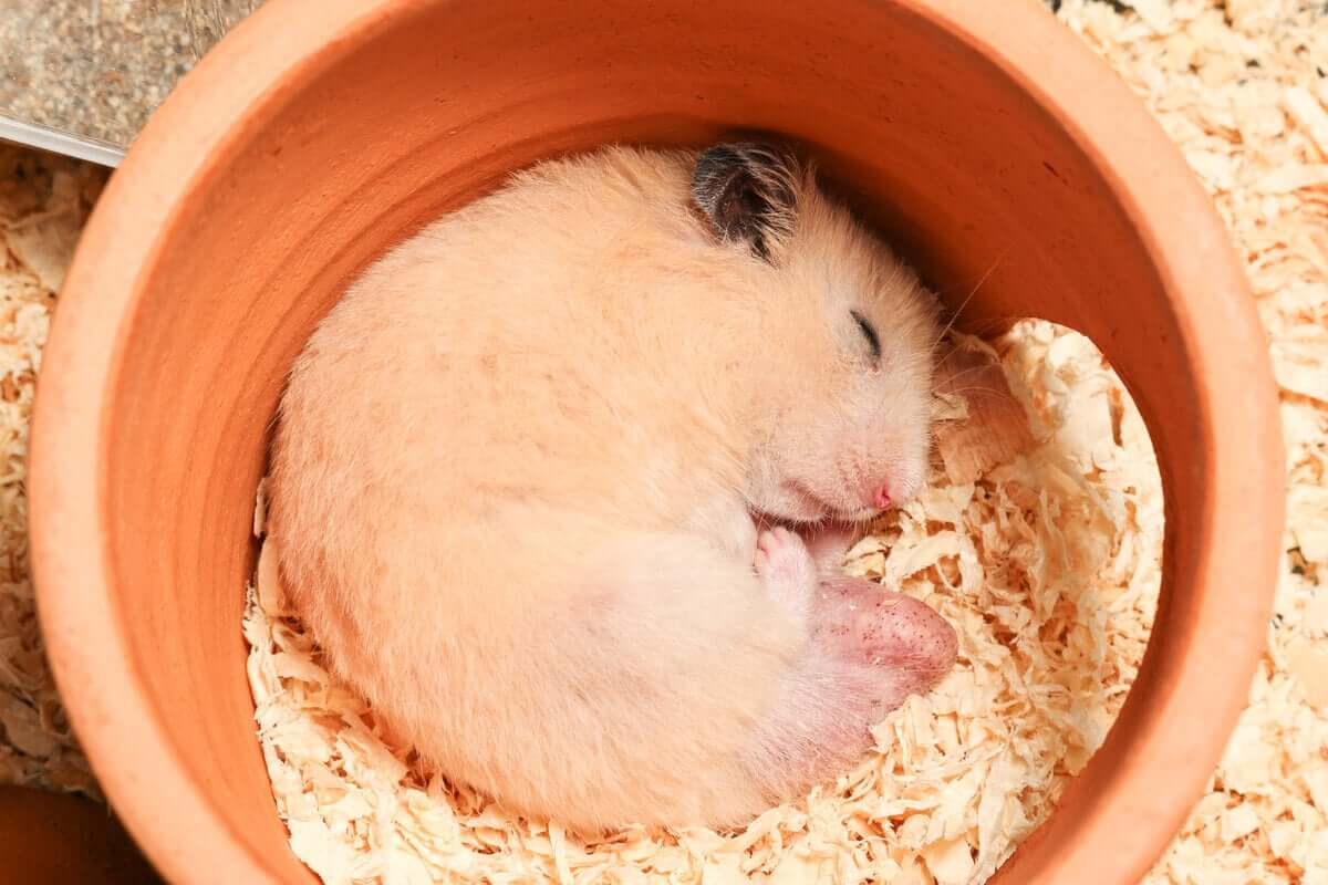 Os hamsters hibernam