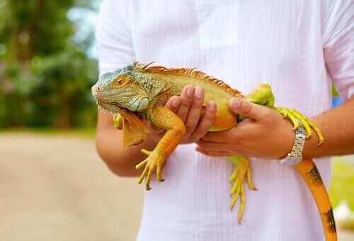 Os 5 parasitas mais comuns em iguanas