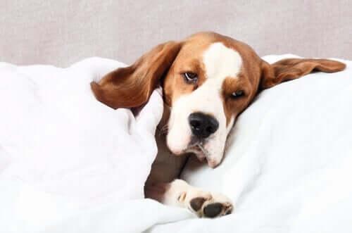 Digestão e indigestão em cães