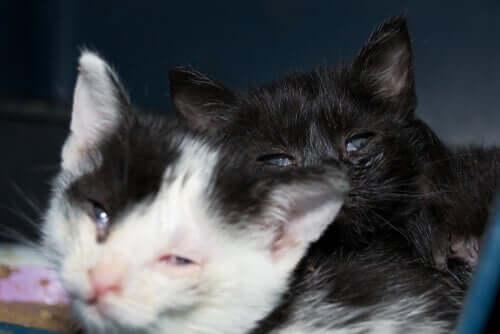 Blefarite em gatos