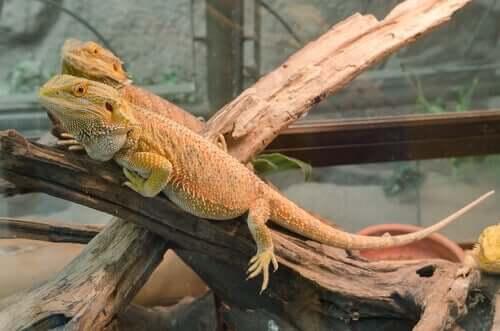Parasitas mais comuns de iguanas: tratamento