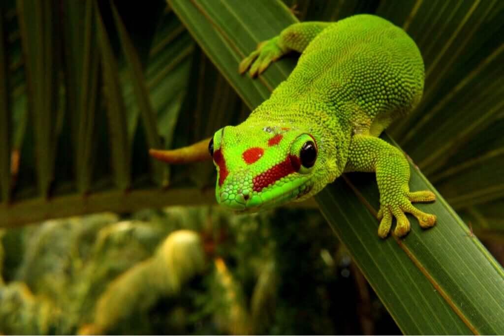Phelsumas ou geckos diurnos: cuidados e características