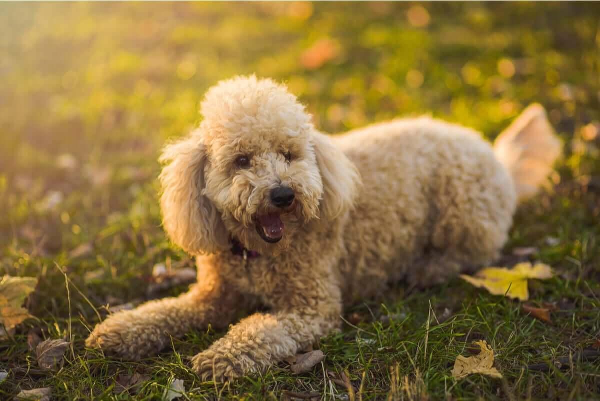 tipos de poodle e suas características
