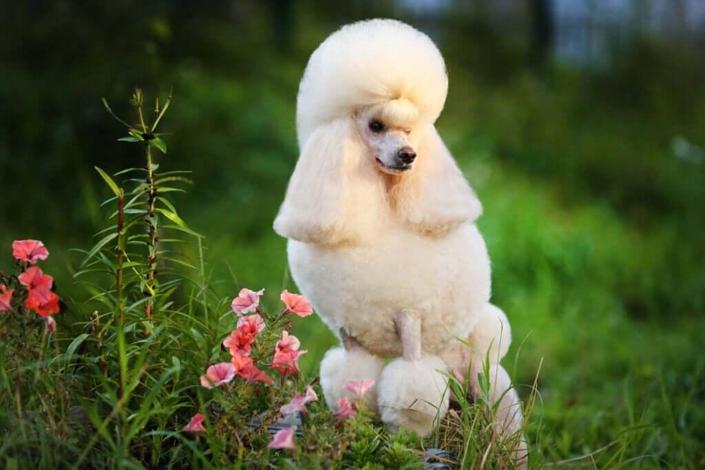 Quatro tipos de poodle e suas características