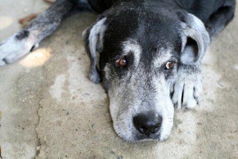 Síndrome de disfunção cognitiva canina (DCC)