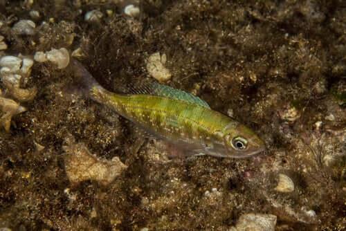 O trombeiro-choupa: um peixe que vive em fundos rochosos