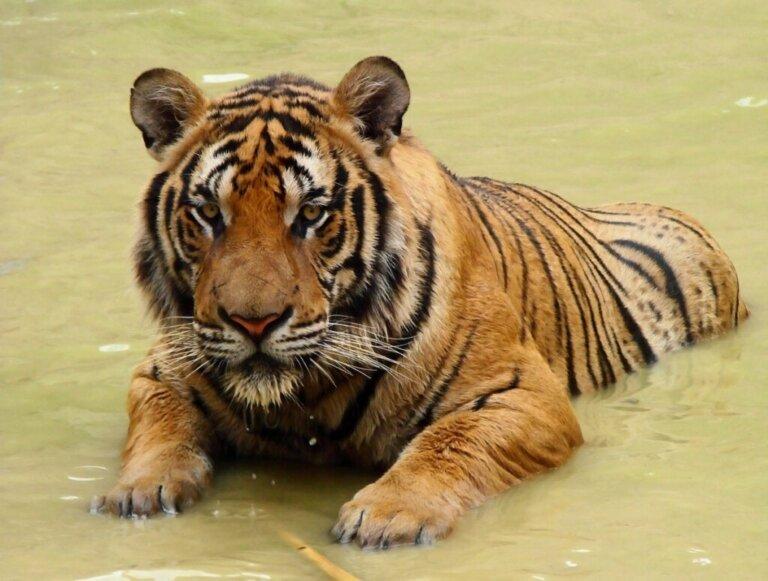 Tigre-do-sul-da-china: um felino majestoso à beira do desaparecimento