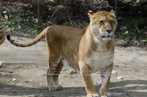 O tigreão: de onde vem seu nome?