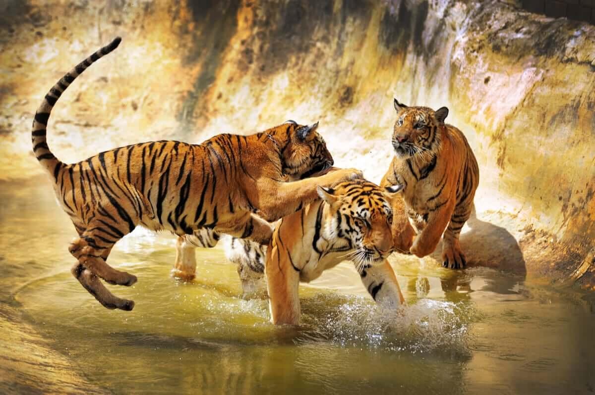 Tigre do sul da China: um felino majestoso à beira do desaparecimento