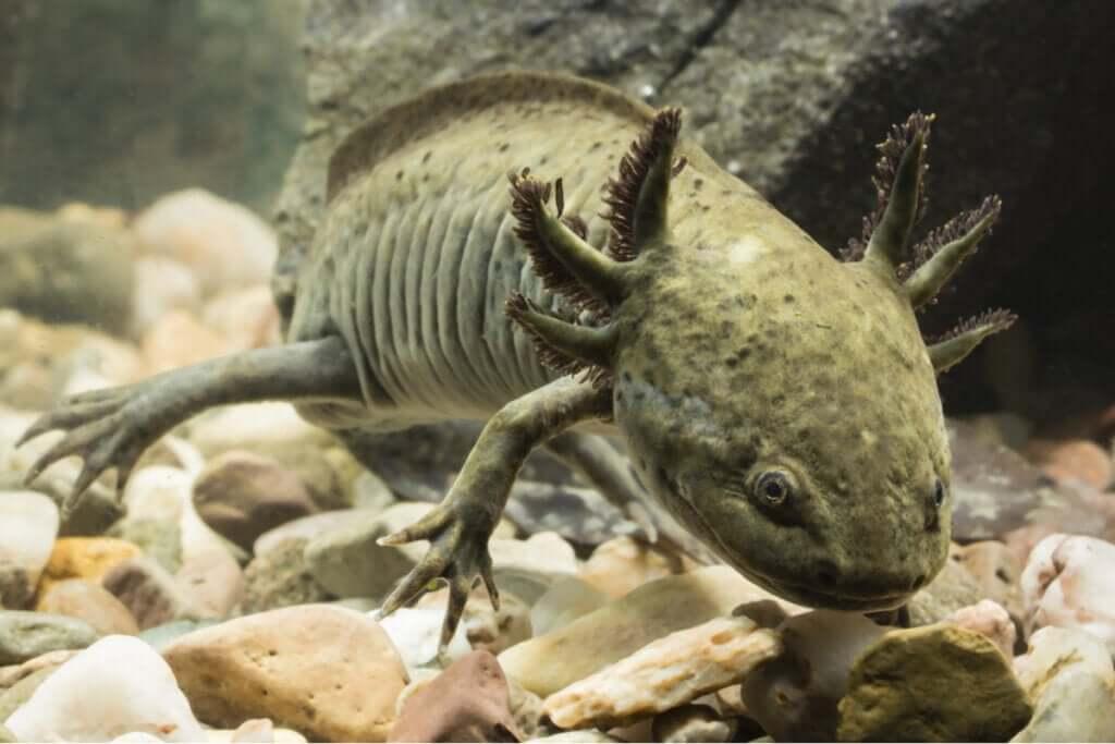 Como resfriar a água do aquário de um axolote?