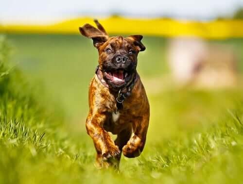 O Boxer, além de estar entre as raças de cães mais enérgicas, destaca-se pela inteligência