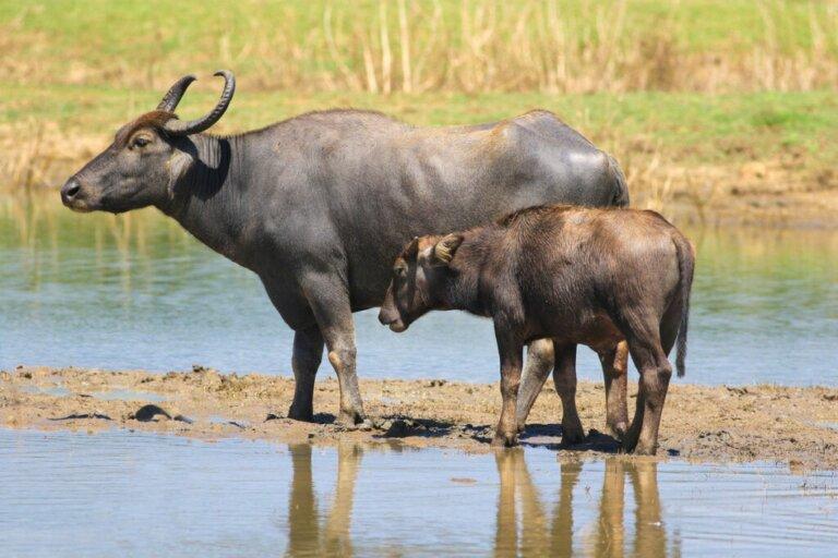 Os búfalos e a pecuária: uma nova simbiose