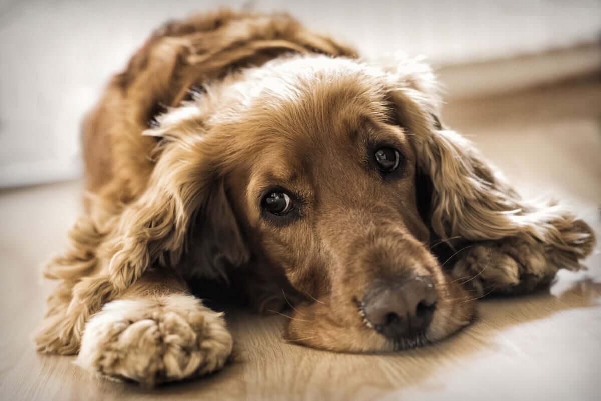 causas da ataxia em cães