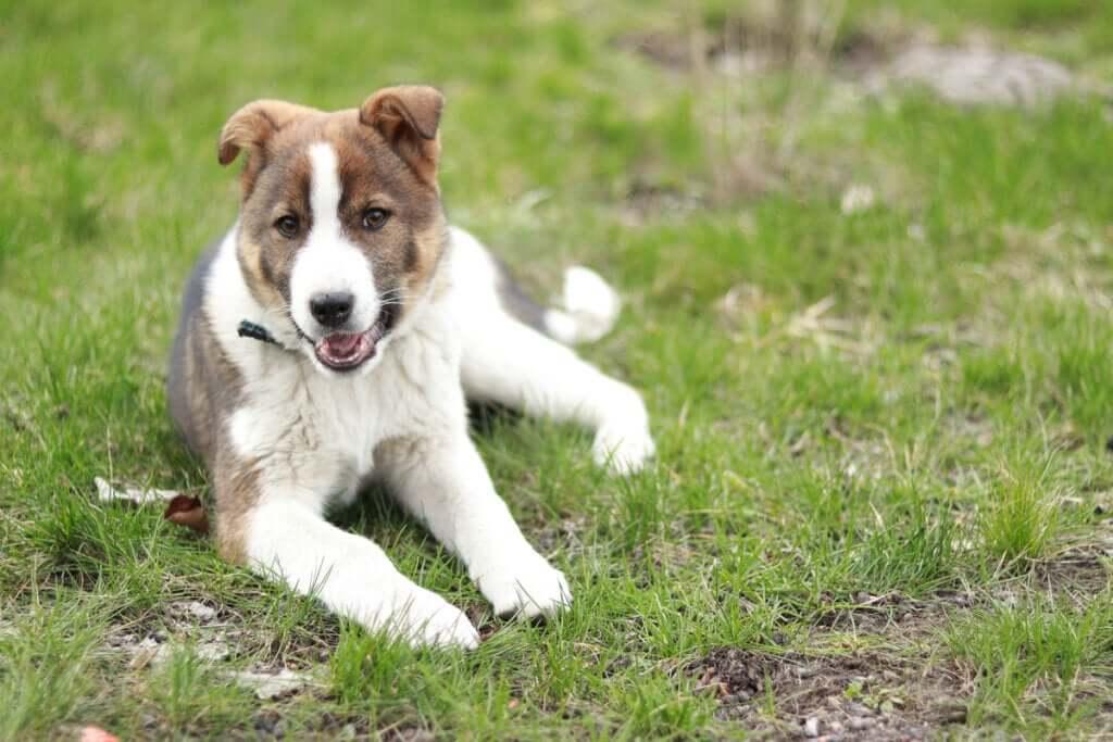 Quais são as causas da ataxia em cães?
