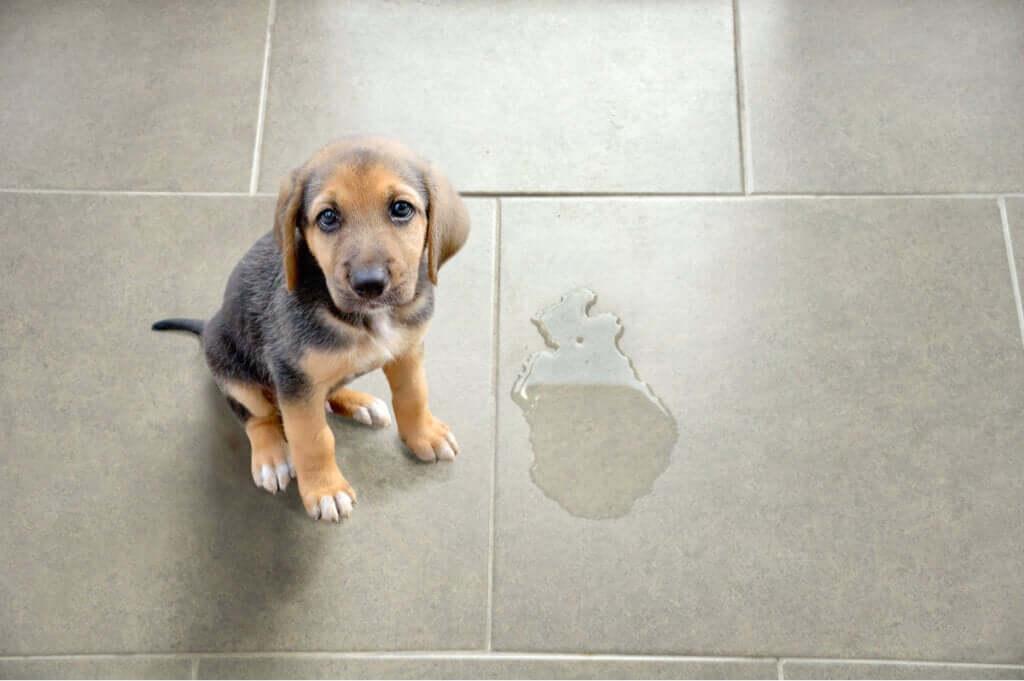 Emergências do trato urinário comuns em pequenos animais