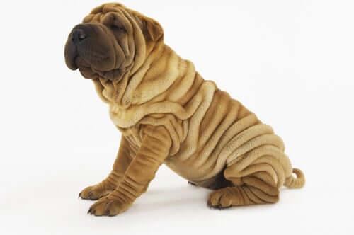 4 encantadoras raças de cães com rugas