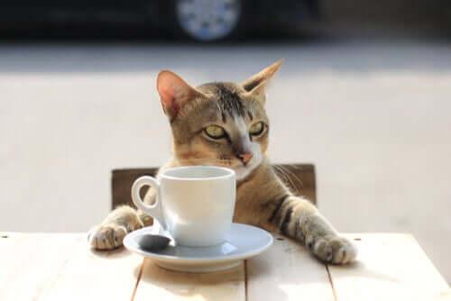 Cafeína, uma das substâncias comuns que podem afetar seu gato