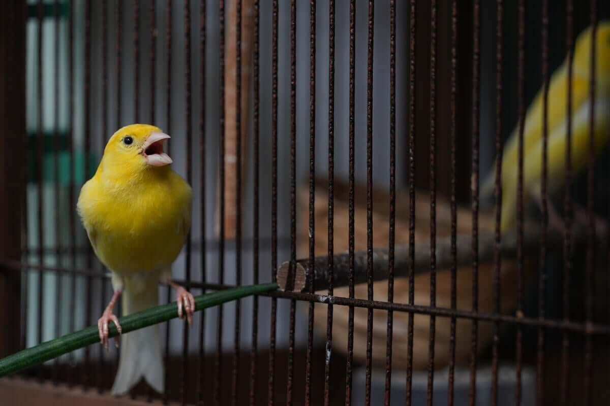 Os canários cantam