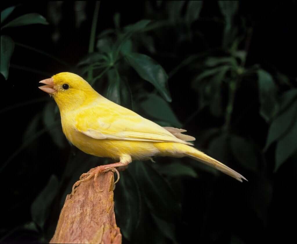 Por que os canários cantam?