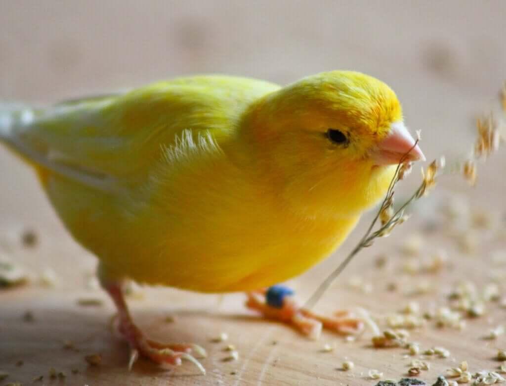 A importância do banho para os canários