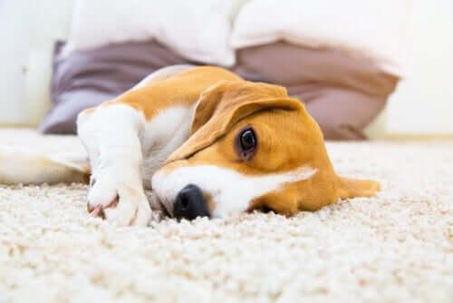 Hemangiossarcoma em cães: causas e sintomas