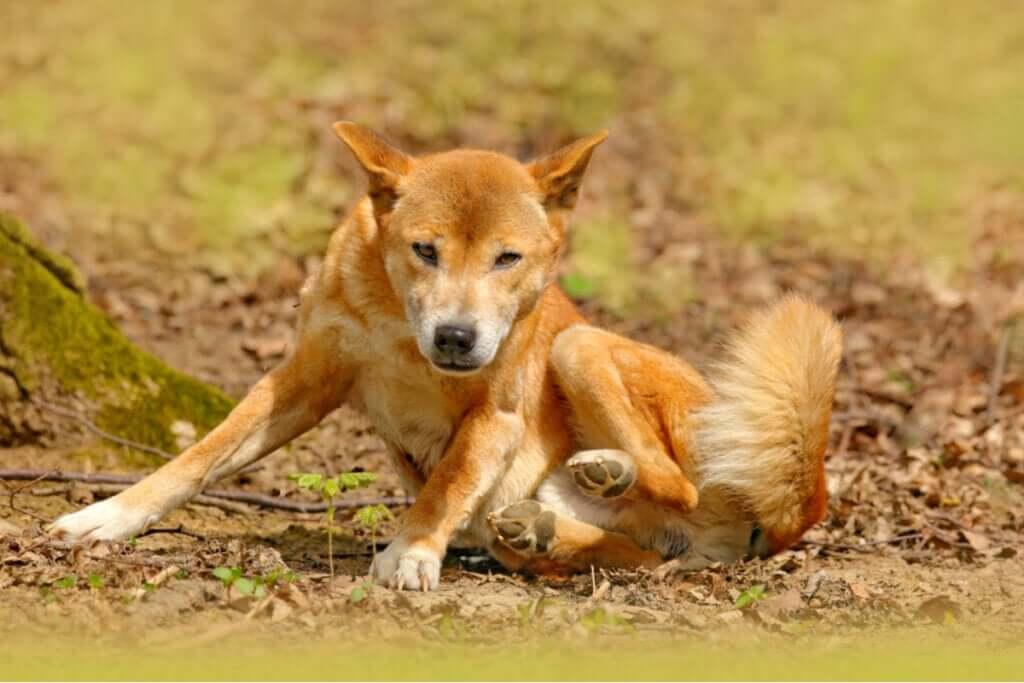 O cão-cantor-da-nova-guiné não está extinto