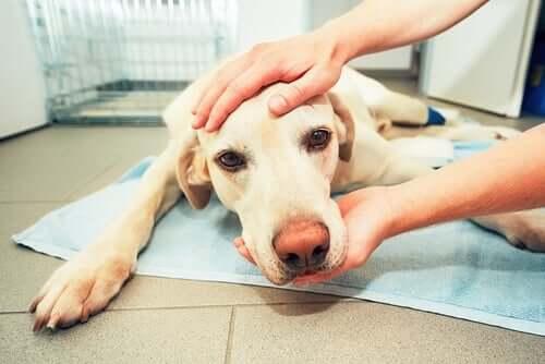 Um cachorro doente que está triste.