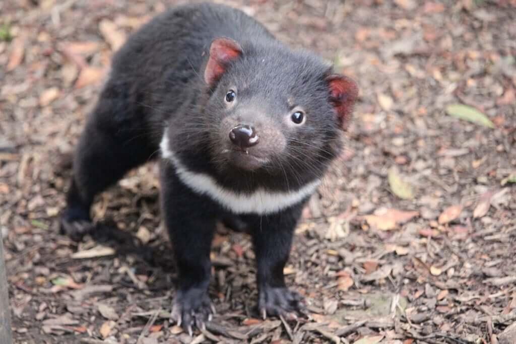 Demônio da Tasmânia retorna à Austrália continental após 3.000 anos