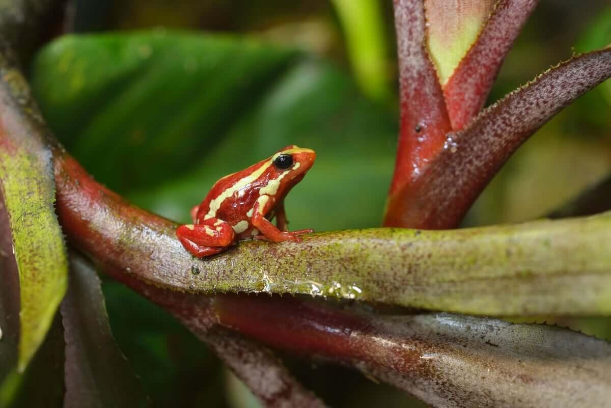 Epipedobates tricolor: cuidados e criação em cativeiro