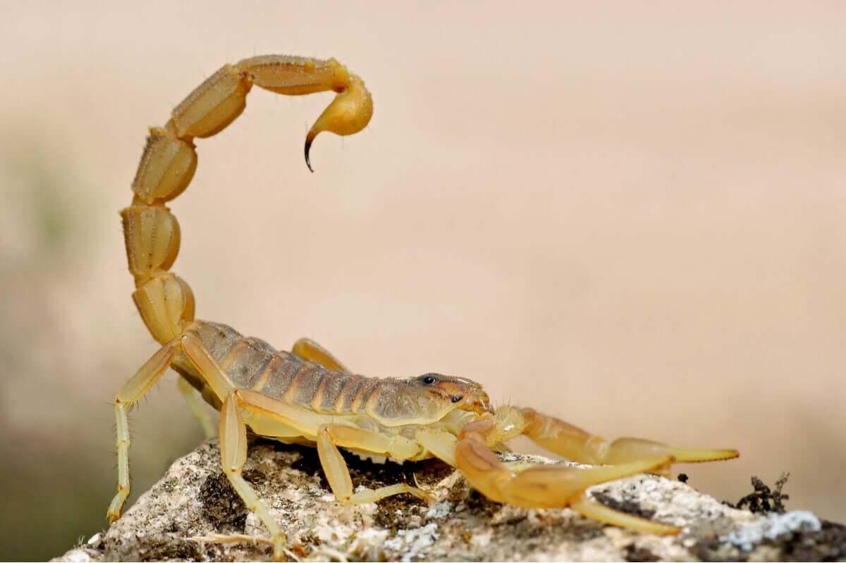 Diferenças entre alacrau e escorpião