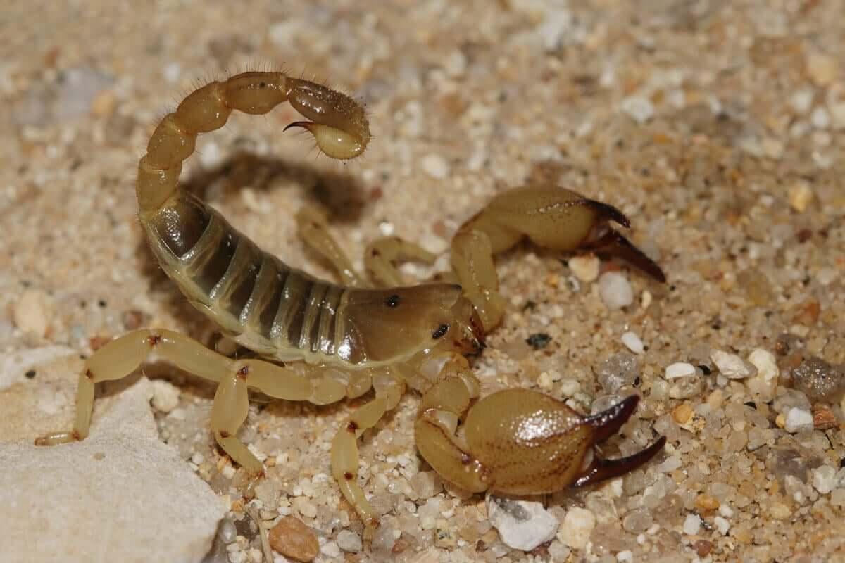 Tipos de escorpiões: Escorpião maurus