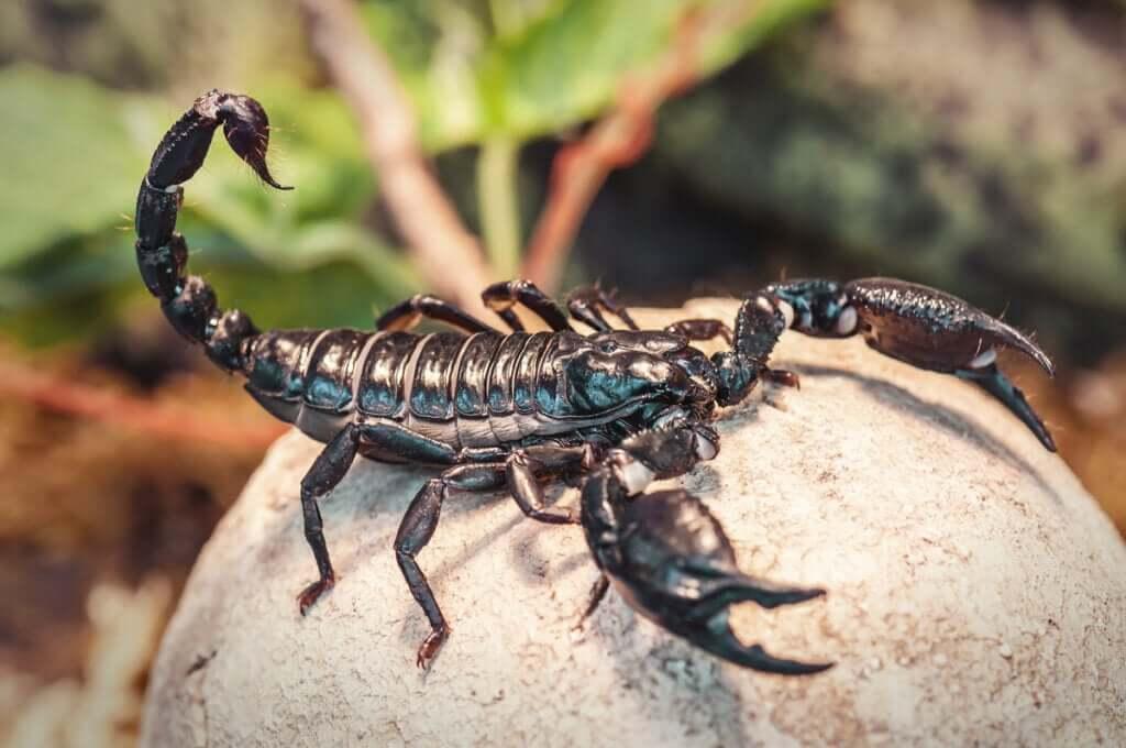 Quatro tipos de escorpiões