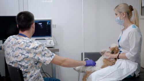 Causas da hemorragia interna em cães