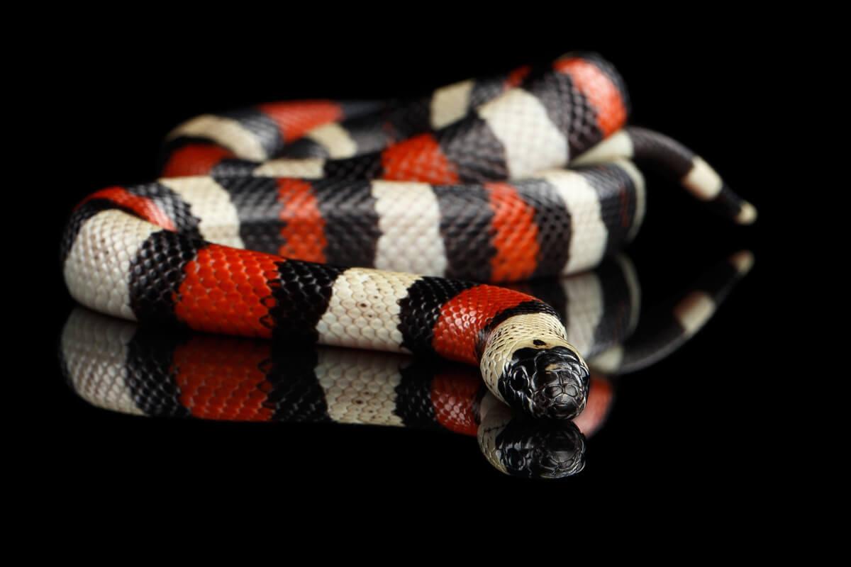 Serpentes não venenosas: cobra do leite
