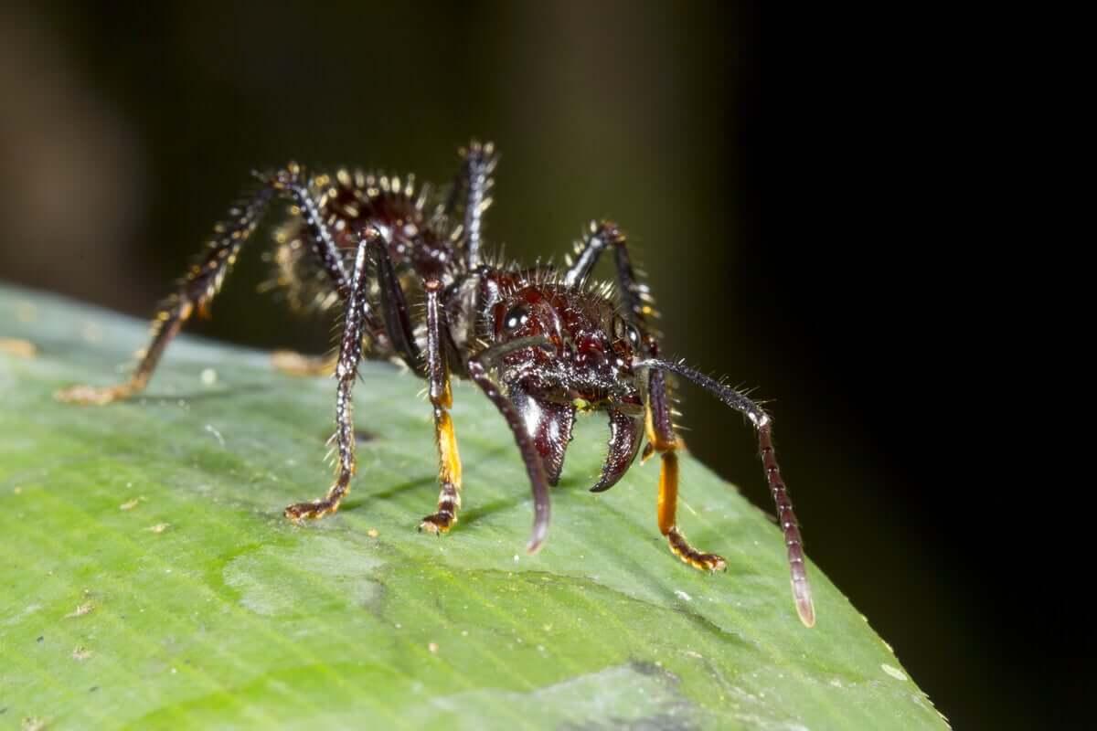 curiosidades sobre as formigas soldado
