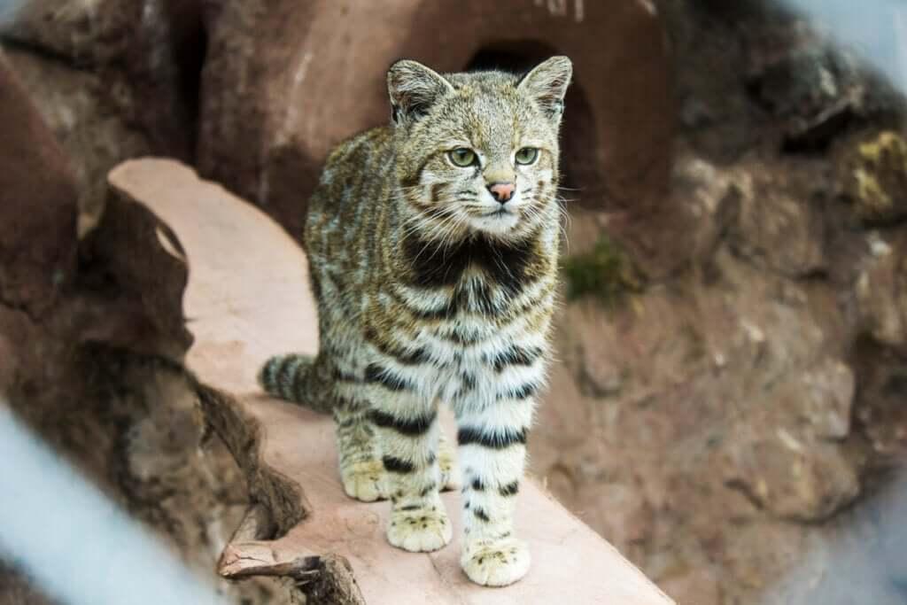 O gato-andino: um felino em grave perigo