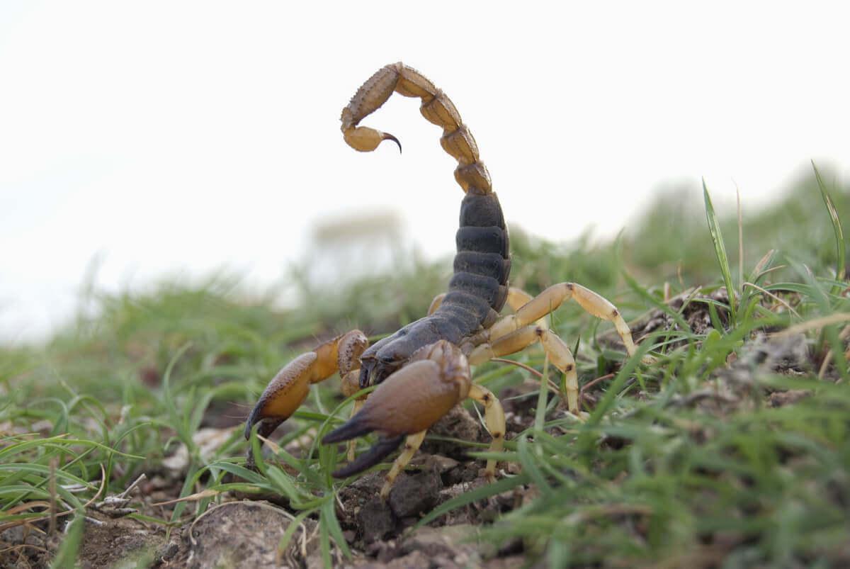 O escorpião vermelho indiano(Hottentotta tamulus)