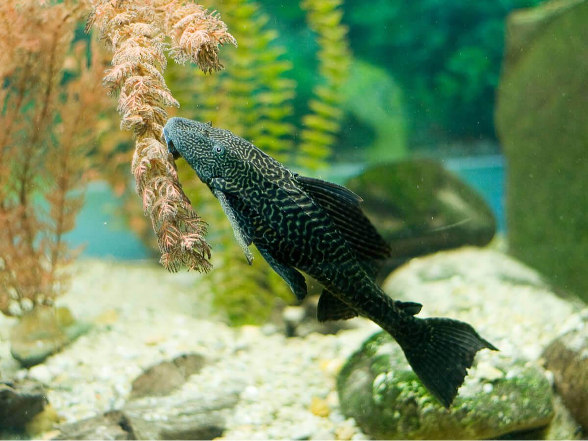 Limpadores naturais para o seu aquário