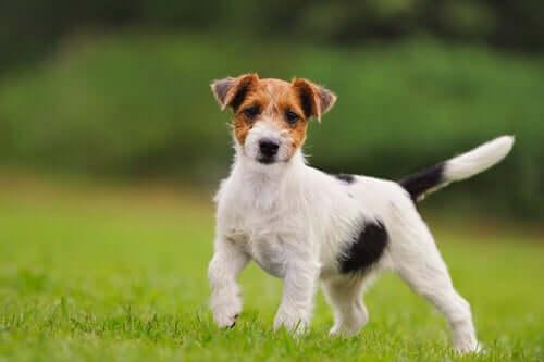Raças de cães mais enérgicas para moradias pequenas
