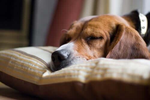 5 sinais de que um cachorro está prestes a morrer