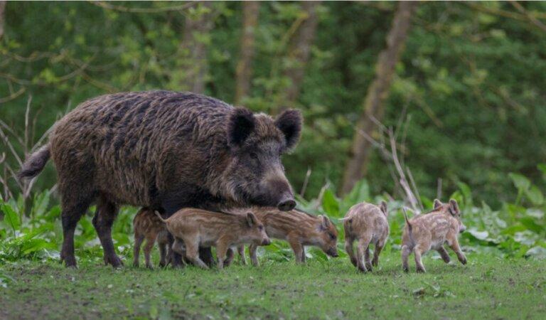 Doença deAujeszky: relevante em javalis ou apenas em porcos?